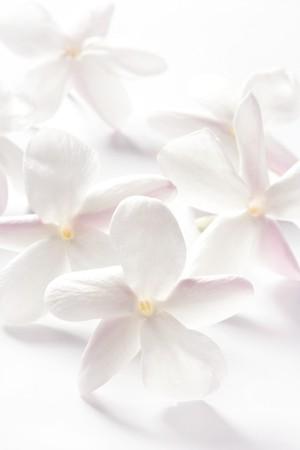 jasmine flower: jasmine flowers over white studio background. High key soft image