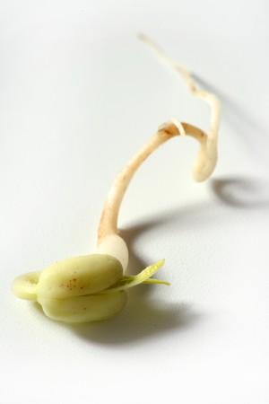 soja: Soia focolaio. La vita � cresciuta da semi di soia, embrione