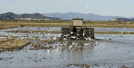 Rice tractor, wet rice fields and seagulls, in Valencia, Spain photo
