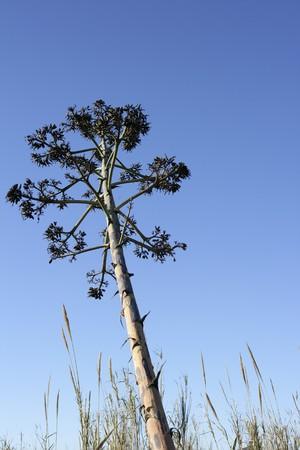 Agave, pitera, cactus from mediterranean sea shore, spain photo