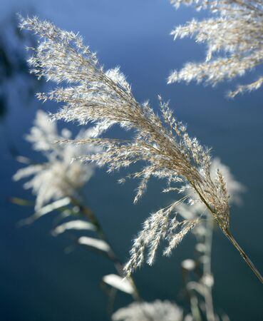 cane flowers on the river, blue sky, sunny day photo