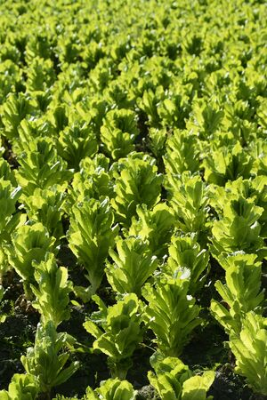 Green lettuce country in Spain. Sunny day outdoors photo
