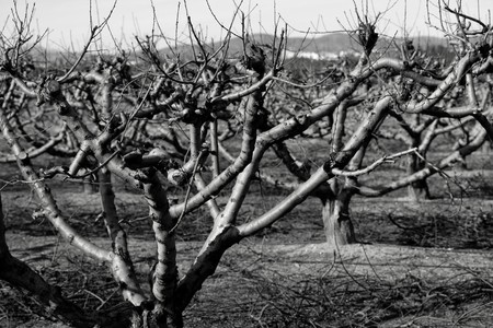 Dry fruit trees without leaves in autumn, sad landscape photo