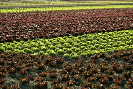 Red little baby lettuce in the fields from spain photo