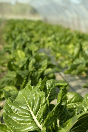 chard: green chard cultivation in a hothouse field, Spain