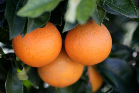Three oranges growing in an orange tree, Valencia, Spain photo