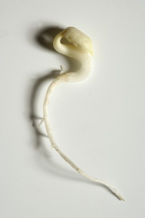 Soy bean outbreak. Life growing from soya seed, embryo photo