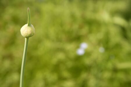 onion flower closed bud over green outdoor natural background photo