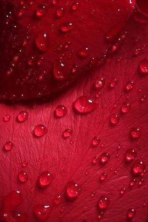 Wet close up macro rose petals with water drops photo