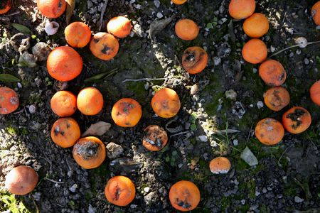 perishable: Rotted oranges on the floor, no harvest, legal limits on export