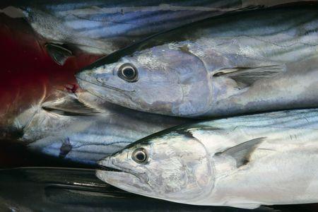 Bonito, skipjack tuna, Sarda Sarda on bloody water photo