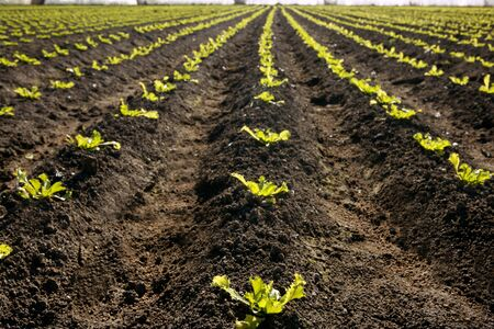 Little lettuce sprouts brown field, green vegetable outbreaks perspective photo