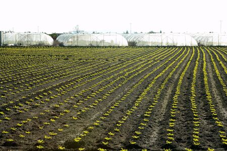 outbreaks: Little lettuce sprouts brown field, green vegetable outbreaks perspective