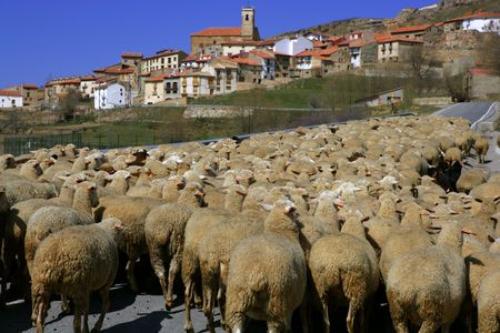 Lamb herd, sheep and gout flock walking on Spanish typical village