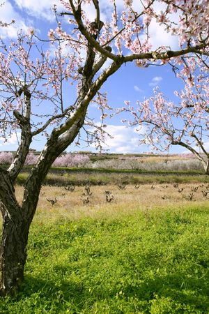 Pink almond tree flowers on early Mediterranean spring photo