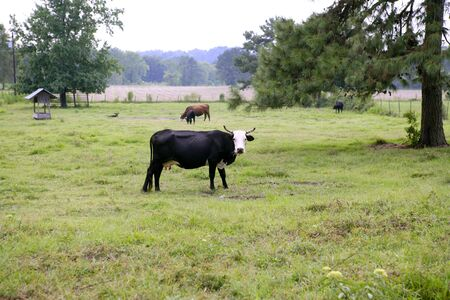 Cow cattle on american green grass meadow Stock Photo - 5059086