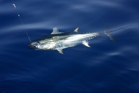 Blue fin tuna Mediterranean big game fishing and release  Stock Photo - 5140291