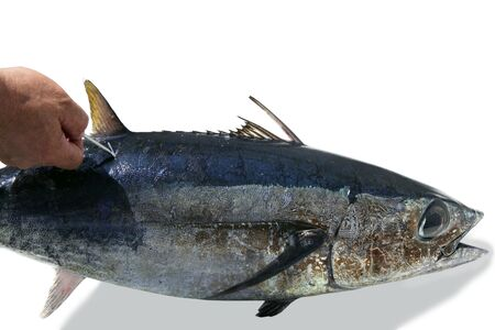Mediterranean tuna albacore fish mark and release to conservation photo