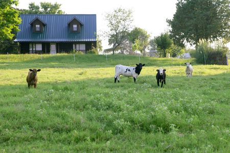Cow cattle on american green grass meadow Stock Photo - 5164570
