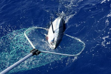 game fishing: Blue fin tuna Mediterranean big game fishing and release