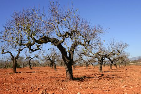 Rainfed agriculture in Spain, Peach tree field in red soil photo