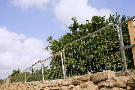 Curious fence on orange tree made of recycled bed structures photo