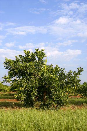 Orange tree on a Mediterranean field in Spain Stock Photo - 5373984