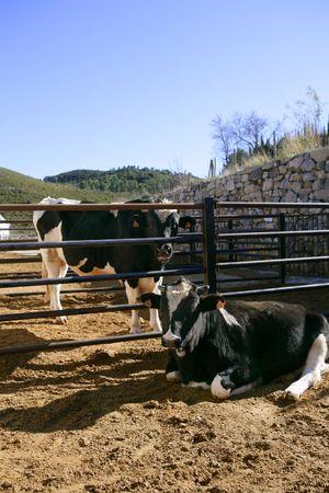 Friesian cow couple eating on the farm Stock Photo - 5373946