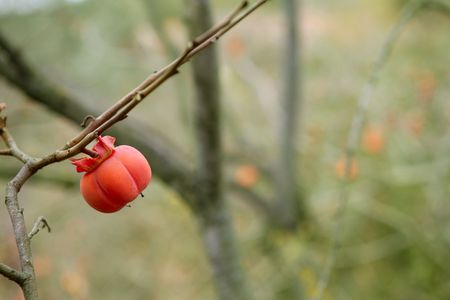 persimmon tree: Persimmon fruit detail in vivid orange color on the tree branch