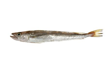hake: Hake fish isolated on white macro detail