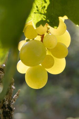 Delicious yellow autumn grape fruit macro detail photo
