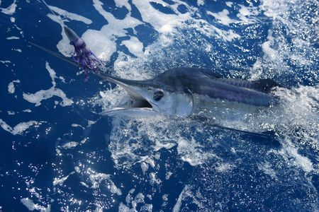 Atlantic white marlin big game sportfishing over blue ocean saltwater Stock Photo - 5732910