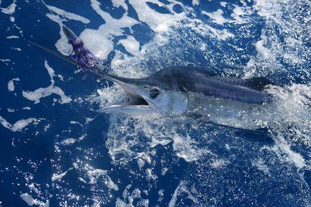 Atlantic white marlin big game sportfishing over blue ocean saltwater photo