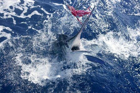 sportfishing: Atlantic white marlin big game sportfishing over blue ocean saltwater Stock Photo