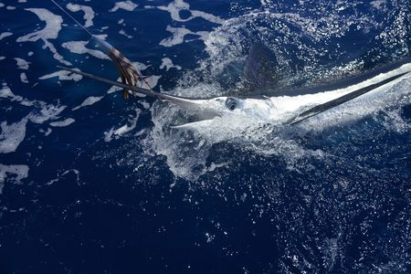 sailfish: Atlantic white marlin big game sportfishing over blue ocean saltwater Stock Photo