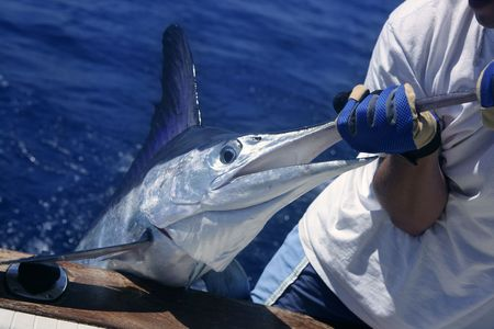 Billfish white Marlin catch and release on boat board photo