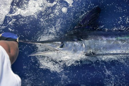 Atlantic white marlin big game sportfishing over blue ocean saltwater photo