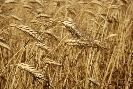 Agriculture wheat golden dried fiels crop texture background photo