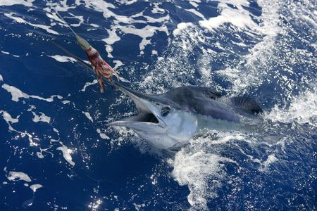 pez vela: Pesca deportiva de peces de hermoso de marlin blanco real del proyecto de ley sobre el agua atl�ntica Foto de archivo