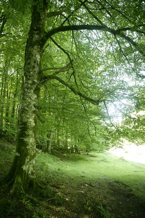 Beech green magic forest with sun reflections in Irati photo