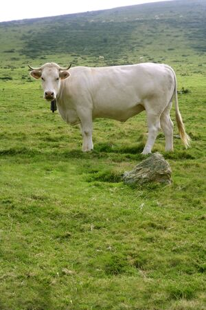 Beige cows cattle  eating on the green grass meadow otudoor photo