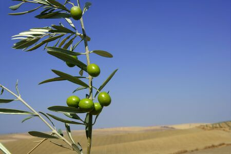 Beautiful green olive field macro detail over blue sky Stock Photo - 5821321