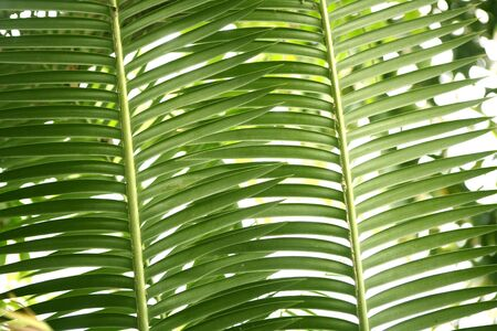 Green palm tree leaves background texture pattern photo
