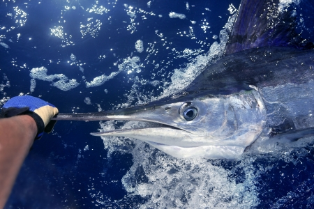 black sea: Atlantic white marlin big game sport fishing over blue ocean saltwater Stock Photo