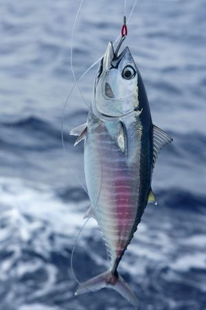 tuna: Blue fin bluefin tuna catch and release on Mediterranean