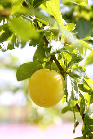 Mirabelle yellow plum fruit in its tree agriculture photo