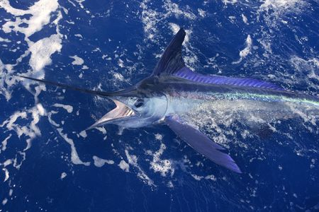sailfish: Atlantic white marlin big game sport fishing over blue ocean saltwater Stock Photo