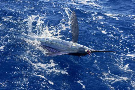 sailfish: Atlantic white marlin big game sport fishing over blue ocean saltwater Stock Photo