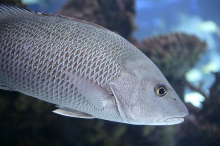Beautiful Snapper saltwater fish with gray scales swimming photo