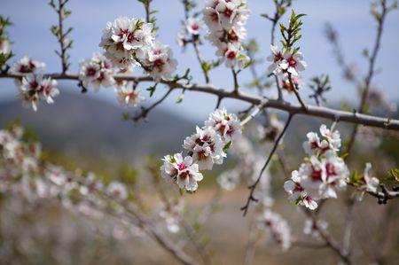 almond bud: Almond flower trees field in spring season pink white flowers